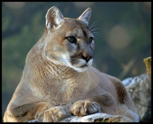 8002460e634d Some folks call them pumas others call them a cougar. No matter what you  call them